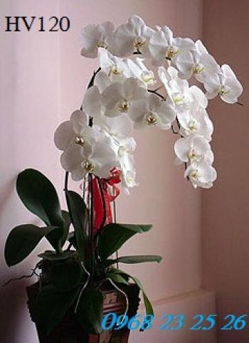 hoa vip hv120